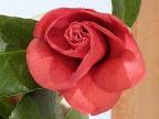 濃紅色 八重咲き 小さい割しべ 中輪