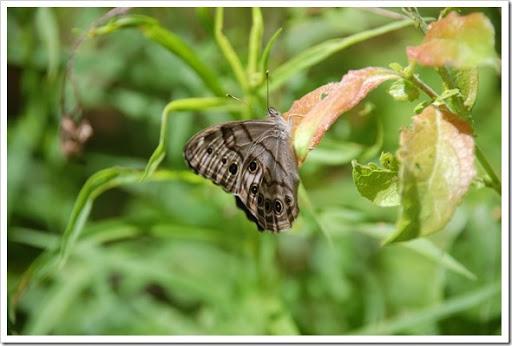 lanark butterfly