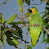 Curica (Orange-winged Parrot)