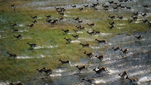 Red Lechwe Running Across the Floodplain, Okavango Delta, Botswana.jpg