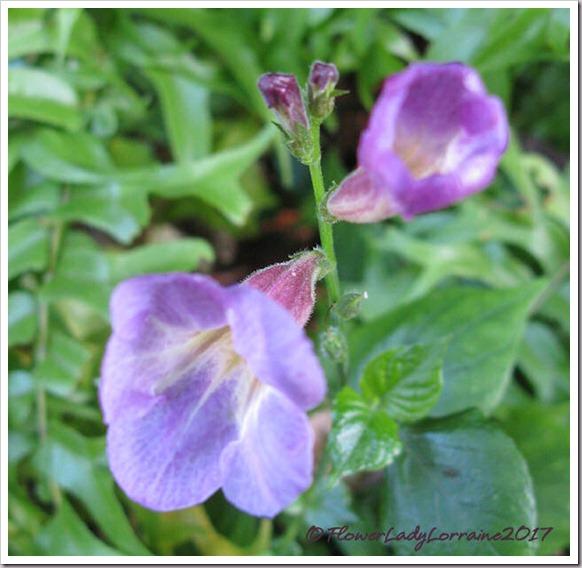 12-25-wild-petunia