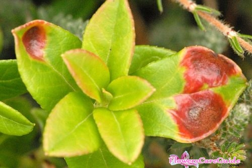 How the galls appear on Camellia Leaves