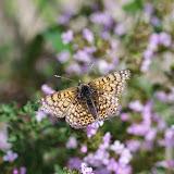 Melitaea cinxia (Linnaeus, 1758), femelle. Les Hautes-Courennes (549 m), Saint-Martin-de-Castillon (Vaucluse), 7 mai 2014. Photo : J.-M. Gayman