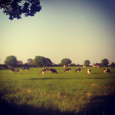 Cows grazing a field in the morning