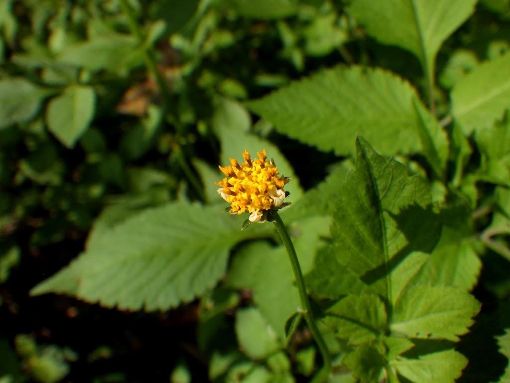 アイノコセンダングサの花