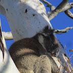 Apollo Bay - Suche nach Koalas