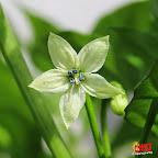 Bhut-Jolokia-flower-chinense