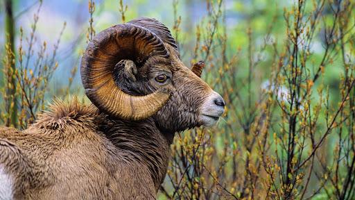 Bighorn Sheep Ram, British Columbia.jpg