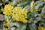 Mahonia 'Oregon Grape Holly'
