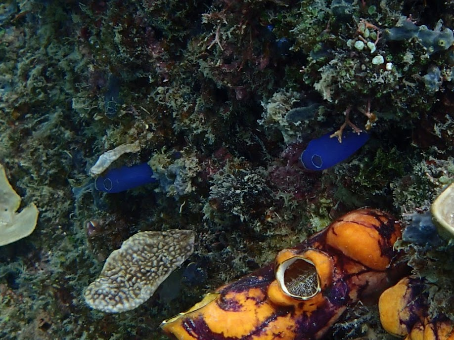 Blue Tunicate, Miniloc Island Resort reef, Palawan, Philippines.