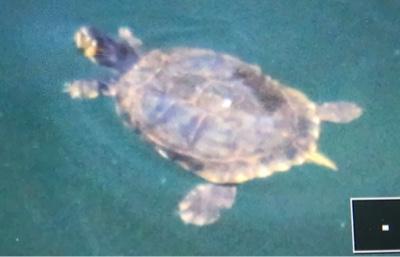 Voce del gambarogno il clima sta cambiando tartarughe for Lago per tartarughe