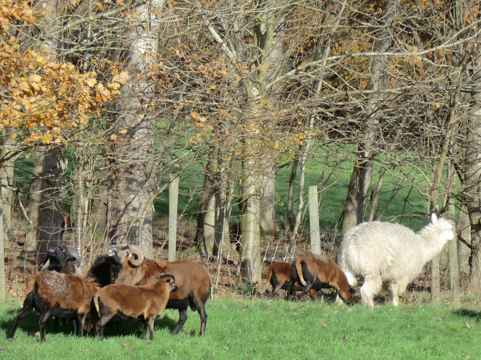 CIMG1700 A llama guards a flock of sheep in Groombridge
