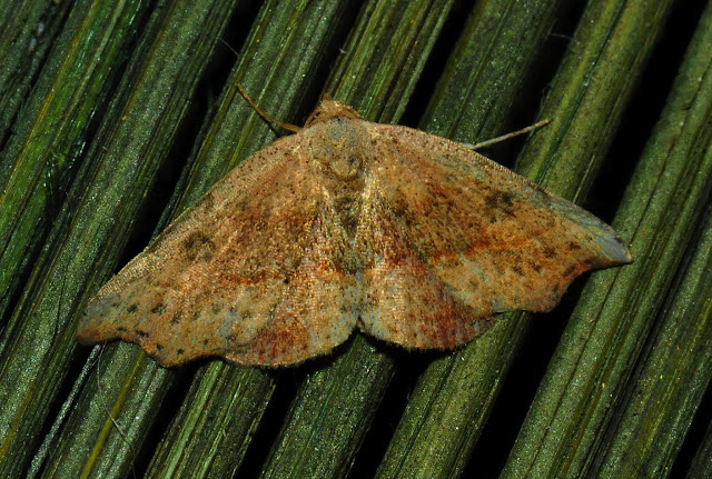 Noctuidae : Acontiinae : Sophta concavata WALKER, [1863]. Umina Beach (N. S. W., Australie), 15 janvier 2012. Photo : Barbara Kedzierski