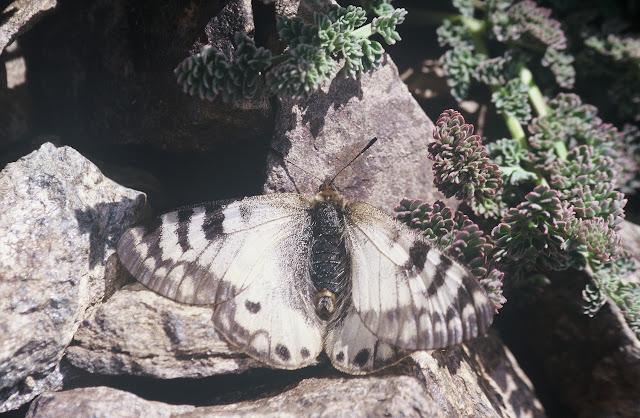 Parnassius (Koramius) staudingeri chitralica VERITY, 1911, femelle. Pakistan, Chitral, Zani Pass, 4100 m, 19 juillet 1997. Photo : J.-F. Charmeux