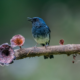 Singing bird by Guna Shekar - Animals Birds ( call, mushrooms, singing, blue, nature, ornithology, animal, birds, avian, wildlife )
