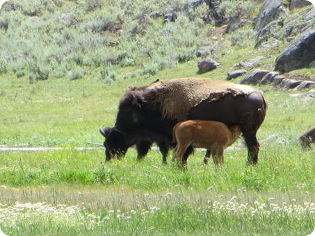 Lamar Valley Buffalo Herd