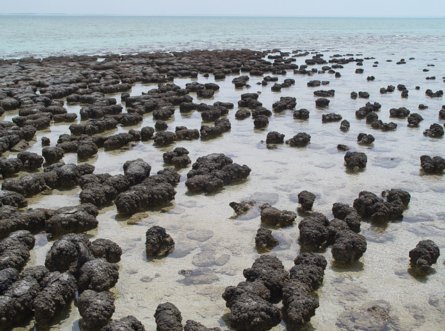 Stromatolites growing in Hamelin Pool Marine Nature Reserve, Shark Bay in Western Australia. Photo: Paul Harrison / Wikipedia