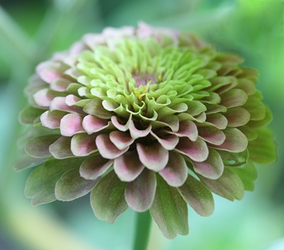 zinnia-queen-red-lime-6-blog-linda-wiggen-kraft-blog