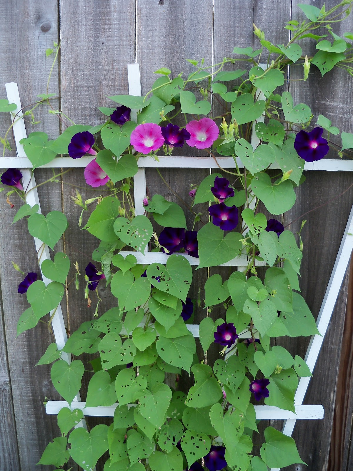 Gardening 2011 - 100_8126.JPG