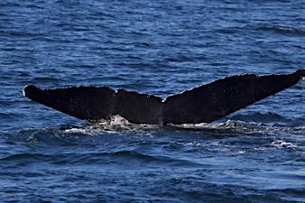 Humpback Whale Fluke Gallery