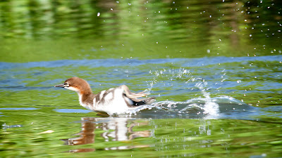 Merganser chick speed-boating away on Otter Creek south of Wallingford Vermont