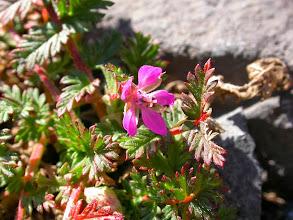 Photo: Erodium, (Erodium cicutarium)... à floraison tardive !