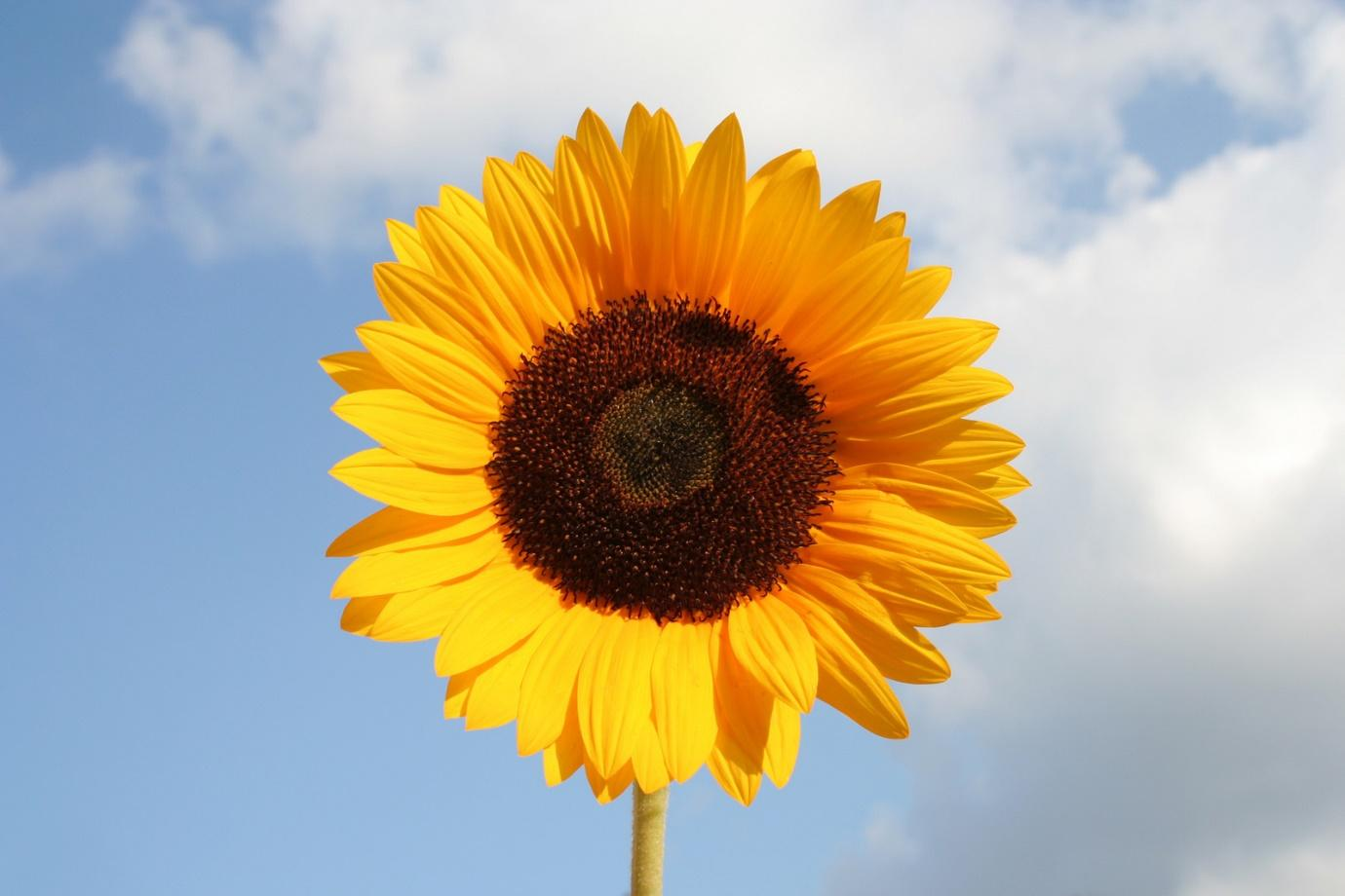 A close up of a sunflower  Description automatically generated with medium confidence