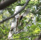 飛び立つアカゲラ。 こちらも何時も傍らにいてくれる森の仲間。
