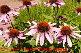 echinacee abeille.jpg