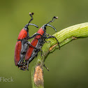 Red Weevil