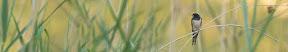 LE CHANT DES ROSEAUX   Quand la jeune hirondelle attend le ravitaillement ! - Panoramique 5 images