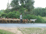 Village boy with a herd of goats