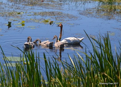 Swans - mom and babies