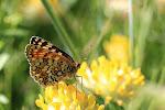 Melitaea phoebe3.jpg