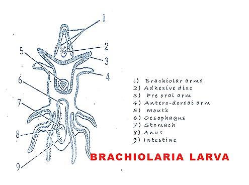Brachiolaria larva