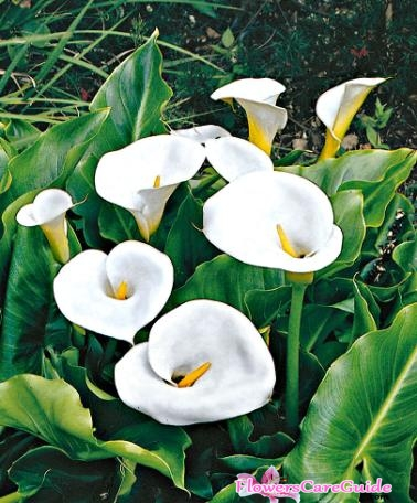 Prepare calla lilies for winter in Cold weather