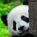 Panda Combat icon