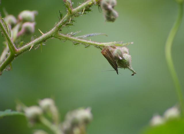 Crambidae : Crambinae : Chrysoteuchia culmella (LINNAEUS, 1758). Les Hautes-Lisières (Rouvres, 28), 11 juin 2011. Photo : J.-M. Gayman