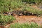 Vi støder blandt andet på denne krokodille ...