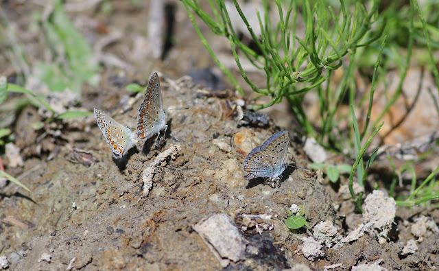 Polyommatus escheri (Hübner, 1823). Les Hautes-Courennes (430 m), Saint-Martin-de-Castillon (Vaucluse), 17 juin 2015. Photo : J.-M. Gayman