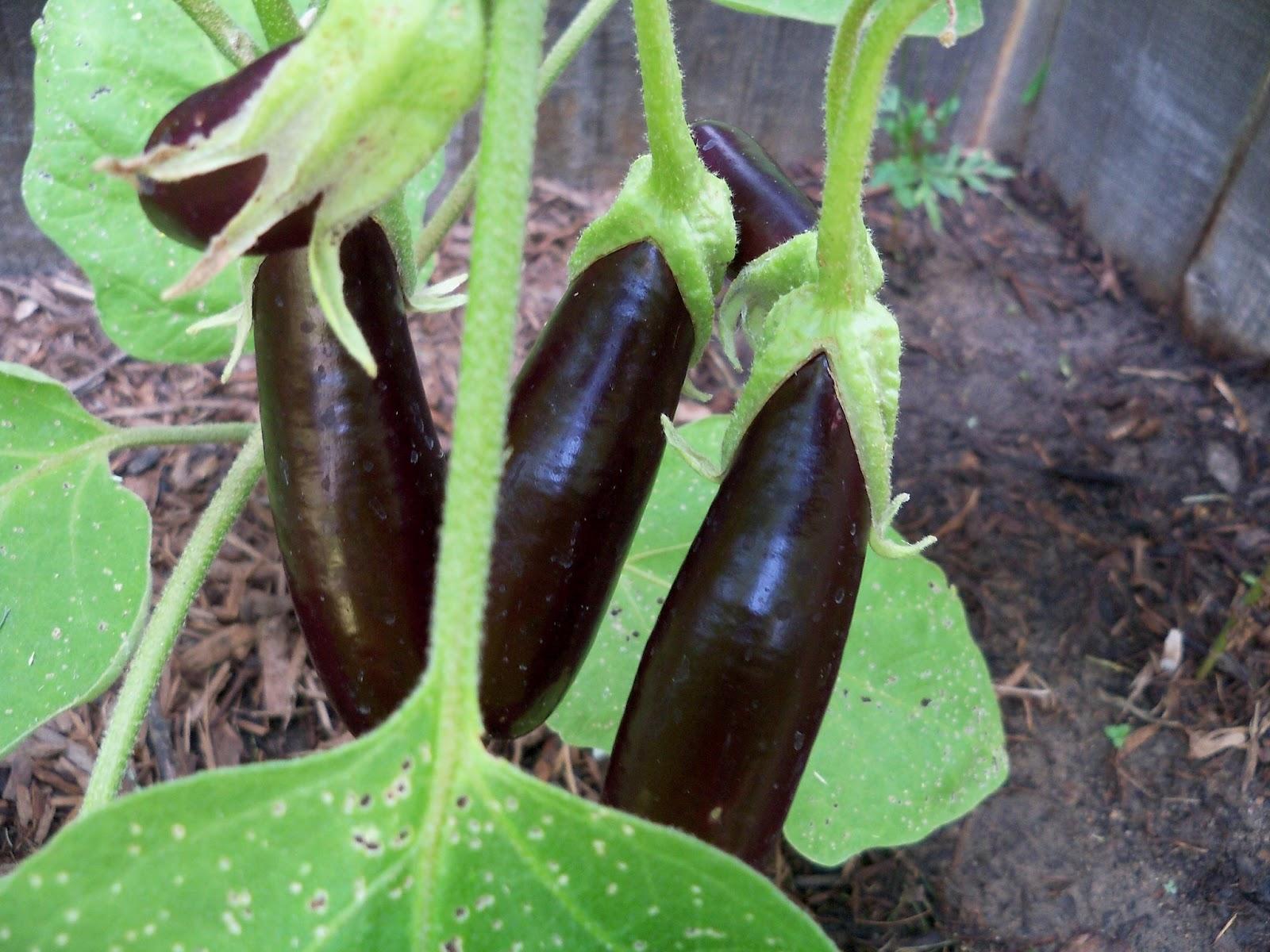 Gardening 2011 - 100_9435.JPG