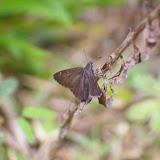 Hesperiidae : Cogia calchas HERRICH-SCHÄFFER, 1869. Amazone Nature Lodge, Montagne de Kaw (Guyane). 18 novembre 2011. Photo : J.-M. Gayman