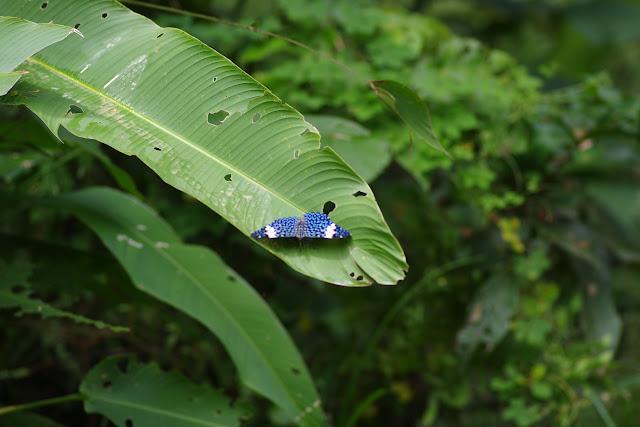 Hamadryas amphinome fumosa (Fruhstorfer, 1915). Fundo Palmarito, 265 m (Yopal, Casanare, Colombie), 8 novembre 2015. Photo : J.-M. Gayman