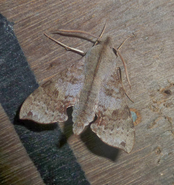 Macroglossinae : Temnora grandidieri (BUTLER, 1879, endémique. Parc national d'Andasibe-Mantadia, 900 m (Madagascar), 28 décembre 2013. Photo : T. Laugier