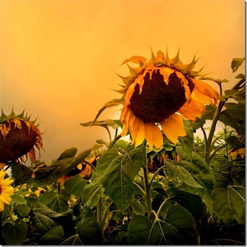 sunflower in the morning 2