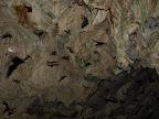 Das Verlassen der Fledermaeuse der Hoehle zur Daemmerung