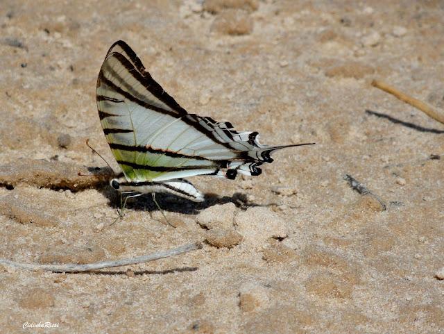 Protesilaus glaucolaus leucas (ROTHSCHILD & JORDAN, 1906). Rive du Rio Teles Pires, município de Nova Canaã do Norte (Mato Grosso, Brésil), 16 juillet 2011. Photo : Cidinha Rissi