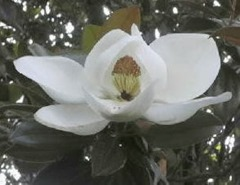 MagnoliaBloom2