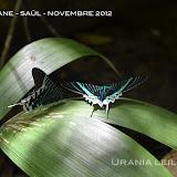 Urania leilus (LINNAEUS, 1758). Saül, novembre 2012. Photo : M. Belloin