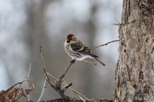 The Redpolls are here
